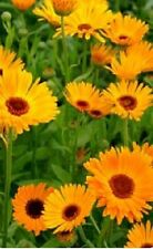 Flower - Calendula officinalis - Pot Marigold - Nova - 500 Seeds