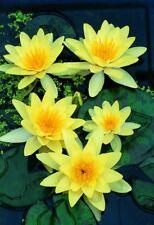 Yellow Nymphaea Chromatella LIVE Water Lily Pond Plant Aquatic Lilly Lotus Alba