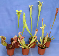 COLLECTION of 6 SARRACENIA (North American pitcher) CARNIVOROUS PLANTS,inc flava