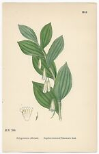 Sowerby. Solomon's Seal. Hand Colored Print. Over 100 years old! #1512.