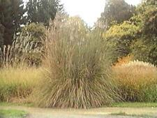 Ornamental Grass Seed - Erianthus Strictus Seeds