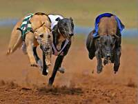 GREYHOUND SPRINTING RUNNING DOG TRACK SPORT PHOTO FINE ART PRINT POSTER BMP086B