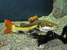 South American Red Tail Catfish 6-7CM LIVE FISH AQUARIUM Aquatics TANK UK