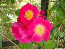 Wild Rose   Rugosa   25-Fainest Seeds  /Good For Hedges*UK