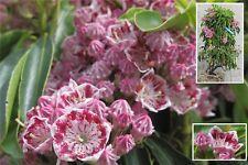 Kalmia latifolia Carousel® Lorbeerrose Berglorbeer 30-40 cm immergrün winterhart