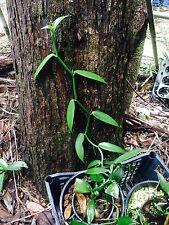 QOB Vanilla bean orchid plant - 90mm pots