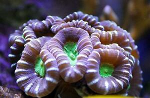 INDONESIAN CANDY CANE - 2 HEADS/ FRAG/CORAL/MARINE
