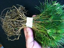 25 Blueridge Smokey Mountain Grown Eastern WhitePine starter evergreen seedlings
