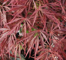 Japanese Maple Acer CRIMSON QUEEN HIGH GRAFT