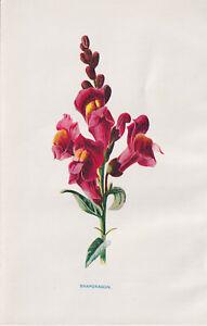 SNAPDRAGON FLOWER FLORAL ANTIQUE BOTANICAL ART PRINT LITHOGRAPH 1898