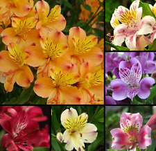 100 Pcs Alstroemeria seeds Mix Peruvian Lily Flower Lily Seeds Garden Decoration