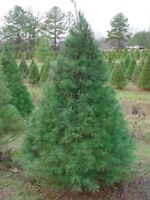 "Eastern White Pine Tree - Evergreen Live Established - 3 Plants in 2.5"" Pots"