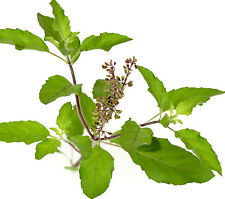 HOLY SACRED BASIL Tursi spicy aroma herb plant in 100mm pot