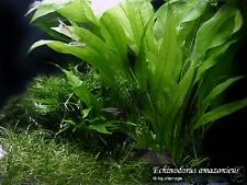 Amazon live Sword plant x 9 stalks =BUY 6 GET 3 FREE!! Aquarium co2 fish tank