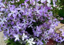 Evening Scented Stock Flower Seeds - Bulk *