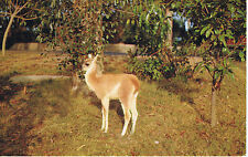 Vintage SAN DIEGO ZOO California BABY GUANACO LLama LM-11 Color Postcard UNUSED