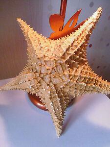 étoile de mer coquillage mer taxidermie
