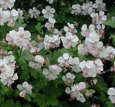 Geranium Clump-forming Perennial Flowers & Plants