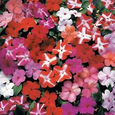 50 Impatiens seeds impatiens sun and shade hot mix stars