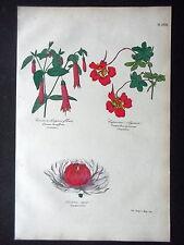 GRAVURE PLANTES 19e - CORREE LONGUES FEUILLES - CAPUCINE - VICTORIA REGIA