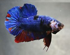 Thai Betta Live Fight Fish Wild Blue Aqua KOI Pet Home Office Garden Plakat Red
