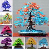Bonsai Seeds Tree Plant Potted Japanese Maple Flower Purifier Home Garden Decor