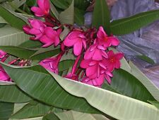 "( 3 Seedling's 3-5"") Rooted Plumeria Frangipani Buy two of these get one free"