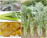 White Cardoon Thistle Seeds EDIBLE TENDER Spanish Cardo Blanco SOW NOW !!