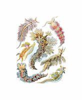 43rd Plate Ernst Haeckel Kunstformen Der Natur Nudibranchia Canvas Print