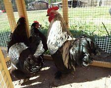 3 Birchen Cochin Chicken Hatching Eggs