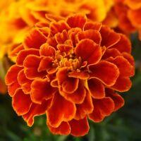 Marigold Bolero  - Tagetes patula nana - 350 seeds