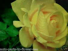 LARGE YELLOW CANARY ROSE FLOWER SEEDS   This is a  U.S.A. TEXAS SHIPPED item