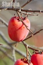 10pcs Persimmon Fruit Tree Seeds Diospyros Kaki Non-Gmo Persimmon Fruit Seeds