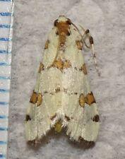 Crambidae Lygropia octonalis Kansas #21 Crambid Moth Insect Butterfly