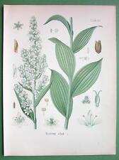 WHITE HELLEBORE Veratrum album Medicinal Plant - COLOR Botanical Print