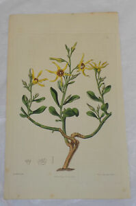 1817 COLOR Floral Print by Edwards/YELLOW ANTHOCERCIS, or, ANTHOCERCIS LITTOREA