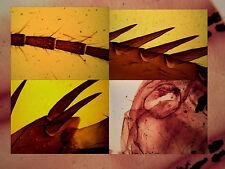 Microscopy Prepared Slides: Cockroach parts - Set of 6