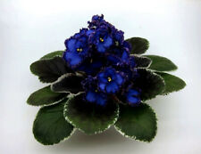 African violet Leaves - to choose