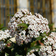 10 SEMI DI Viburno tino - Viburnum tinus L..