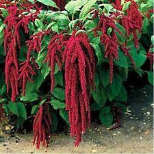 Love Lies Bleeding- Amaranthus- 100 Seeds
