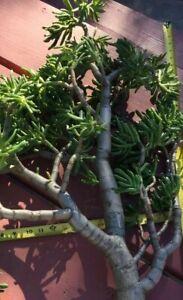 """❤️Crassus Argentea Finger Jade Succulent 1 Plant Cutting Mature 12-18"""" Specimen"""