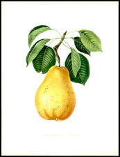 The Bartlett Pear 1855 Alexandre Bivort Hand-Colored Lithograph Horticulture