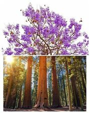 Palisander- und Berg-Mammut-Baum - zwei tolle Bäume im Baum-Samen-Spar-Set !