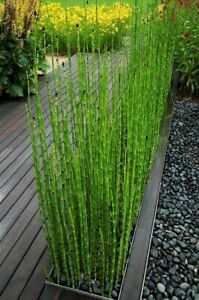 15 x Horsetail Reed Bamboo Looking Zen Garden & Pond Plants Live Plant shipped