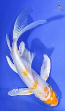"New listing 5.5"" HARIWAKE Butterfly Koi live fish nextdaykoi NDK"
