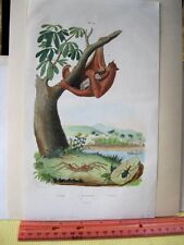 Vintage Print,Tropical Marsupial,French Dictionary,1837
