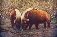 PIGS. Wild Boars(Sus Porcus) 1907 old antique vintage print picture