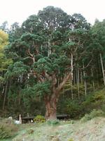 CRYPTOMERIA JAPONICA 15 Samen 15 Seeds Zeder Rot der Japan