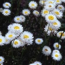 Paper Daisy- White- 50 Seeds