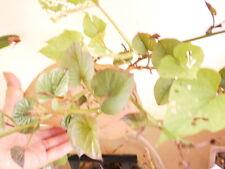 Sweet potato growing (Japanese or Korean sweet potato bought from Asian store)